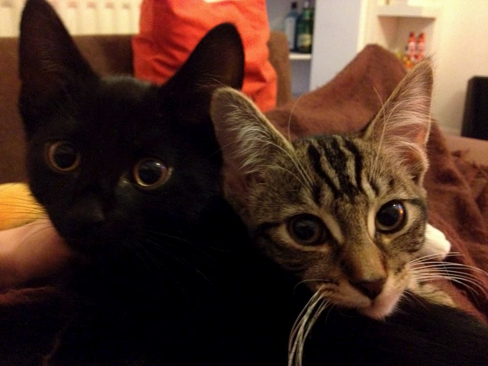 Black kitten Mungojerrie on the left, cuddled by grey tabby kitten Rumpleteazer on the right